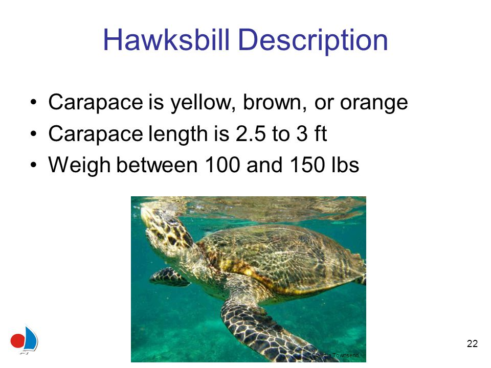 22 Hawksbill Description Carapace is yellow, brown, or orange Carapace length is 2.5 to 3 ft Weigh between 100 and 150 lbs Claudia Townsend