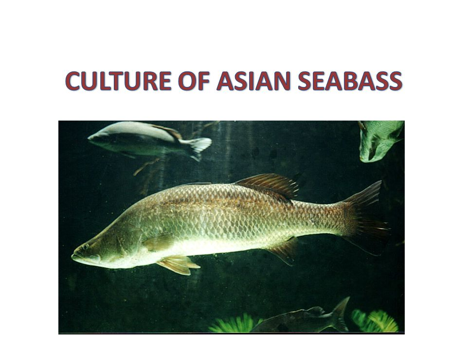 The Asian sea bass Lates calcarifer - important coastal, estuarine and freshwater fish in the tropical and subtropical Indo-Pacific region It is widely distributed from the Gulf of Arabia to Northern Australia.