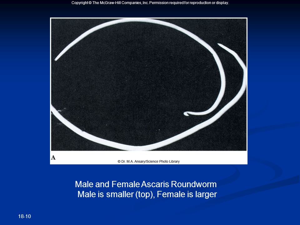 Copyright © The McGraw-Hill Companies, Inc. Permission required for reproduction or display. 18-10 Male and Female Ascaris Roundworm Male is smaller (