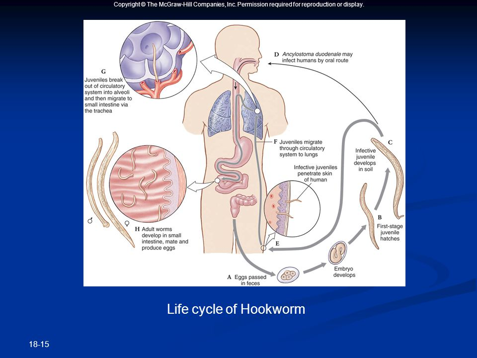 Copyright © The McGraw-Hill Companies, Inc. Permission required for reproduction or display. 18-15 Life cycle of Hookworm