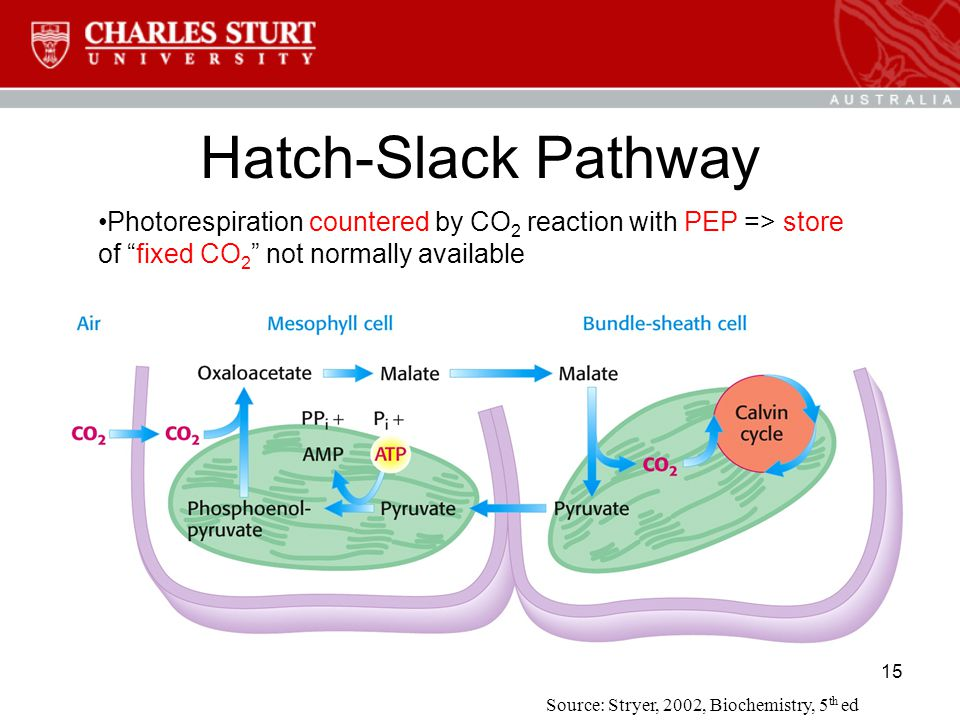 15 Hatch-Slack Pathway Photorespiration countered by CO 2 reaction with PEP => store of fixed CO 2 not normally available Source: Stryer, 2002, Biochemistry, 5 th ed