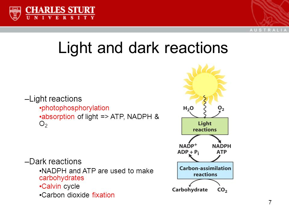 7 Light and dark reactions –Light reactions photophosphorylation absorption of light => ATP, NADPH & O 2 –Dark reactions NADPH and ATP are used to make carbohydrates Calvin cycle Carbon dioxide fixation