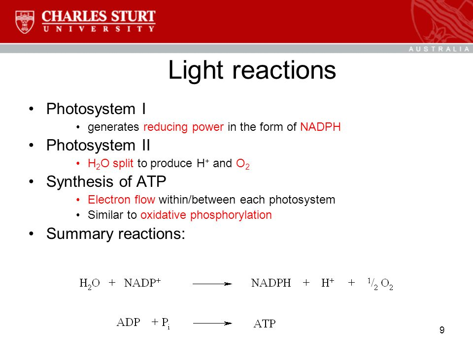 9 Light reactions Photosystem I generates reducing power in the form of NADPH Photosystem II H 2 O split to produce H + and O 2 Synthesis of ATP Electron flow within/between each photosystem Similar to oxidative phosphorylation Summary reactions: