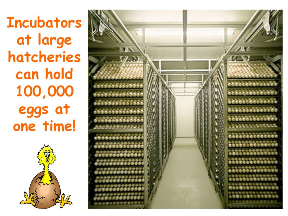 Incubators at large hatcheries can hold 100,000 eggs at one time!