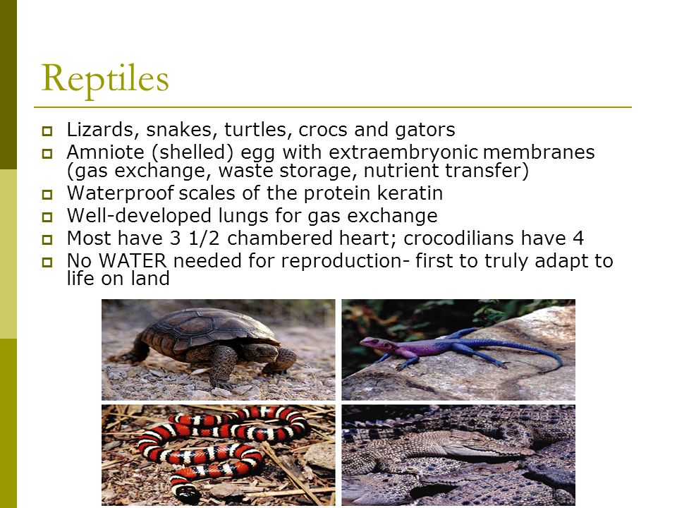 Reptiles  Lizards, snakes, turtles, crocs and gators  Amniote (shelled) egg with extraembryonic membranes (gas exchange, waste storage, nutrient tra