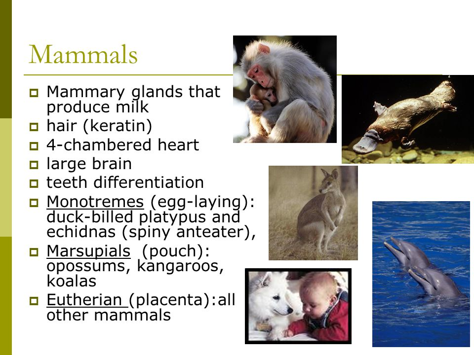Mammals  Mammary glands that produce milk  hair (keratin)  4-chambered heart  large brain  teeth differentiation  Monotremes (egg-laying): duck-billed platypus and echidnas (spiny anteater),  Marsupials (pouch): opossums, kangaroos, koalas  Eutherian (placenta):all other mammals