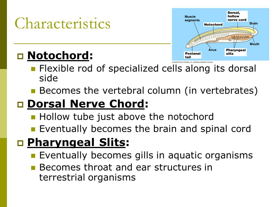 Characteristics  Notochord: Flexible rod of specialized cells along its dorsal side Becomes the vertebral column (in vertebrates)  Dorsal Nerve Chord: Hollow tube just above the notochord Eventually becomes the brain and spinal cord  Pharyngeal Slits: Eventually becomes gills in aquatic organisms Becomes throat and ear structures in terrestrial organisms