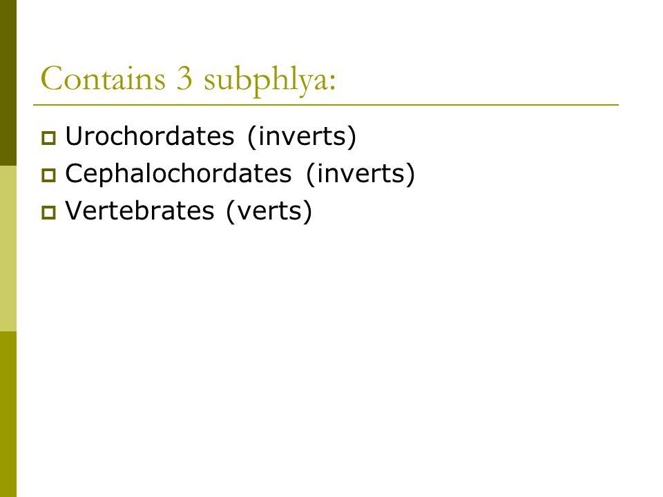 Contains 3 subphlya:  Urochordates (inverts)  Cephalochordates (inverts)  Vertebrates (verts)