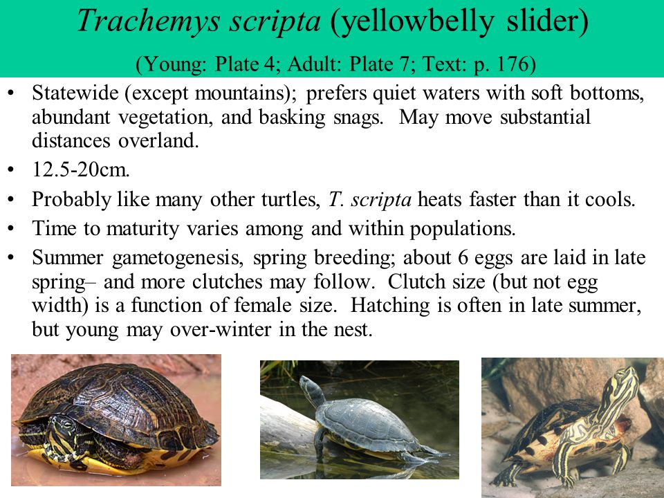 Trachemys scripta (yellowbelly slider) (Young: Plate 4; Adult: Plate 7; Text: p. 176) Statewide (except mountains); prefers quiet waters with soft bot