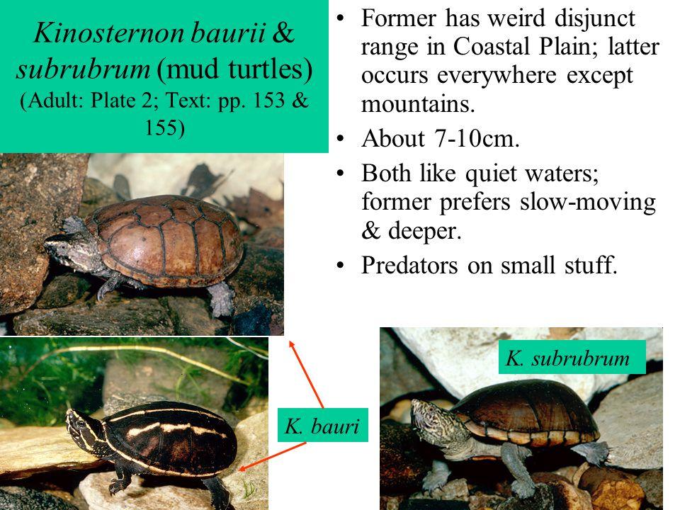 Kinosternon baurii & subrubrum (mud turtles) (Adult: Plate 2; Text: pp. 153 & 155) Former has weird disjunct range in Coastal Plain; latter occurs eve