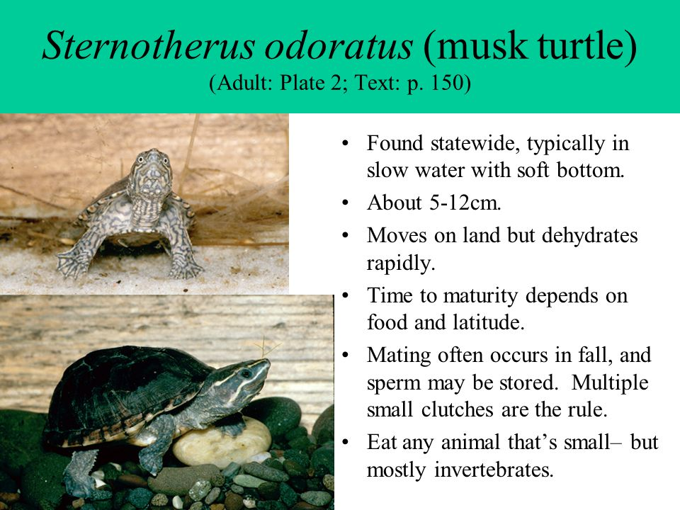 Sternotherus odoratus (musk turtle) (Adult: Plate 2; Text: p. 150) Found statewide, typically in slow water with soft bottom. About 5-12cm. Moves on l