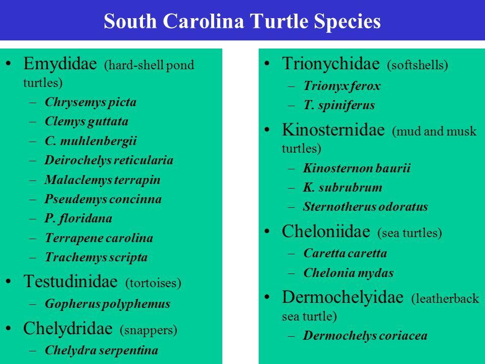 South Carolina Turtle Species Emydidae (hard-shell pond turtles) –Chrysemys picta –Clemys guttata –C. muhlenbergii –Deirochelys reticularia –Malaclemy