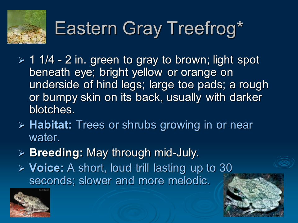 Eastern Gray Treefrog*  1 1/4 - 2 in. green to gray to brown; light spot beneath eye; bright yellow or orange on underside of hind legs; large toe pa
