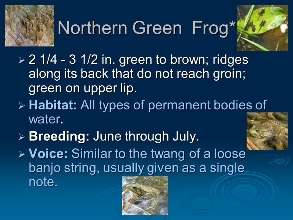 Northern Green Frog*  2 1/4 - 3 1/2 in.