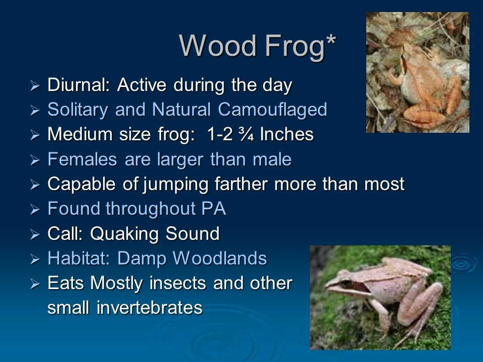 Wood Frog* Wood Frog*  Diurnal: Active during the day  Solitary and Natural Camouflaged  Medium size frog: 1-2 ¾ Inches  Females are larger than male  Capable of jumping farther more than most  Found throughout PA  Call: Quaking Sound  Habitat: Damp Woodlands  Eats Mostly insects and other small invertebrates