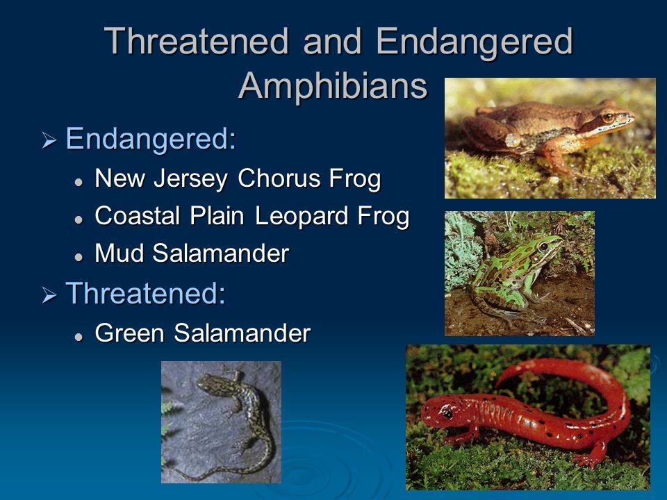 Threatened and Endangered Amphibians Threatened and Endangered Amphibians  Endangered: New Jersey Chorus Frog New Jersey Chorus Frog Coastal Plain Le