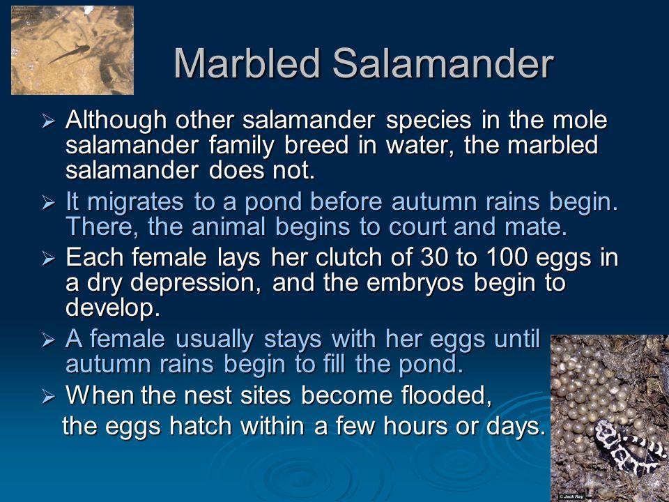 Marbled Salamander Marbled Salamander  Although other salamander species in the mole salamander family breed in water, the marbled salamander does no