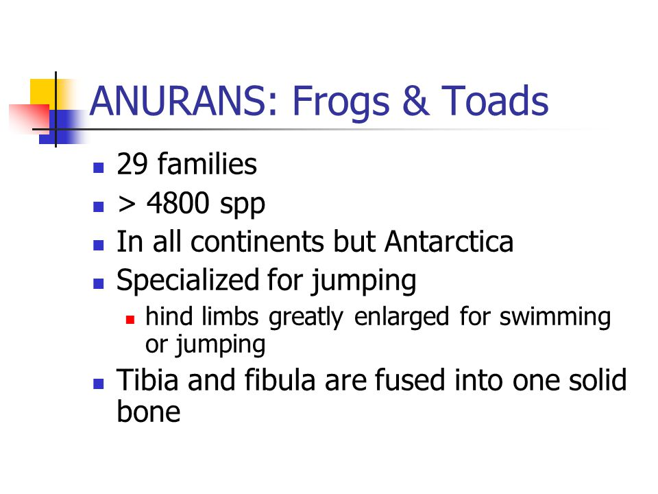 ANURANS: Frogs & Toads 29 families > 4800 spp In all continents but Antarctica Specialized for jumping hind limbs greatly enlarged for swimming or jumping Tibia and fibula are fused into one solid bone
