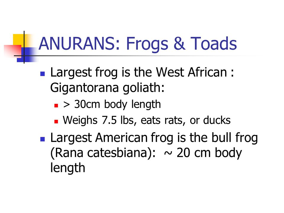 ANURANS: Frogs & Toads Largest frog is the West African : Gigantorana goliath: > 30cm body length Weighs 7.5 lbs, eats rats, or ducks Largest American frog is the bull frog (Rana catesbiana): ~ 20 cm body length