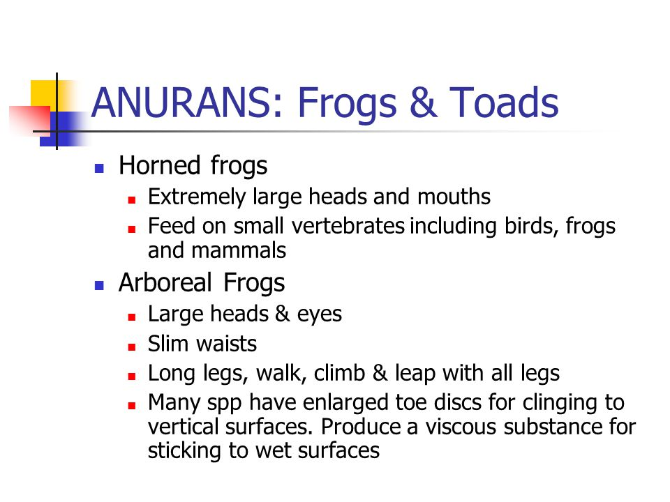 ANURANS: Frogs & Toads Horned frogs Extremely large heads and mouths Feed on small vertebrates including birds, frogs and mammals Arboreal Frogs Large heads & eyes Slim waists Long legs, walk, climb & leap with all legs Many spp have enlarged toe discs for clinging to vertical surfaces.