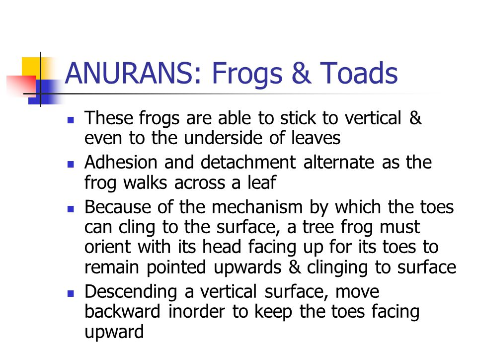 ANURANS: Frogs & Toads These frogs are able to stick to vertical & even to the underside of leaves Adhesion and detachment alternate as the frog walks across a leaf Because of the mechanism by which the toes can cling to the surface, a tree frog must orient with its head facing up for its toes to remain pointed upwards & clinging to surface Descending a vertical surface, move backward inorder to keep the toes facing upward