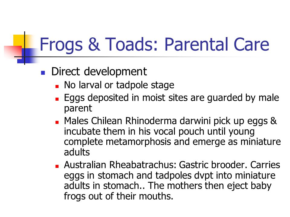 Frogs & Toads: Parental Care Direct development No larval or tadpole stage Eggs deposited in moist sites are guarded by male parent Males Chilean Rhinoderma darwini pick up eggs & incubate them in his vocal pouch until young complete metamorphosis and emerge as miniature adults Australian Rheabatrachus: Gastric brooder.