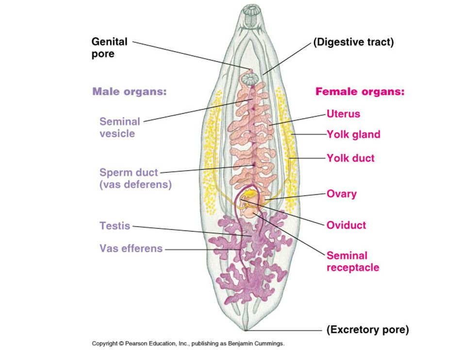 Reproduction Sexual and asexual reproductionAsexual: Through regeneration -Able to regenerate any lost partsSexual: Hermaphrodites Both worms exchange