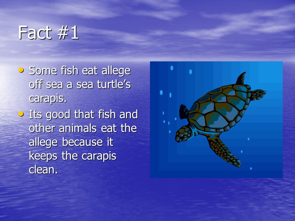 Fact #1 Some fish eat allege off sea a sea turtle's carapis.