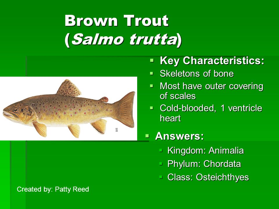 Brown Trout (Salmo trutta)  Key Characteristics:  Skeletons of bone  Most have outer covering of scales  Cold-blooded, 1 ventricle heart  Answers:  Kingdom: Animalia  Phylum: Chordata  Class: Osteichthyes Created by: Patty Reed