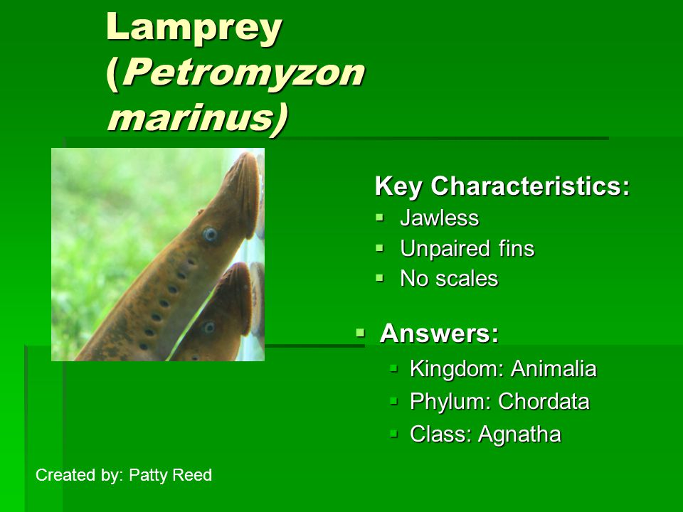 Lamprey (Petromyzon marinus) Key Characteristics:  Jawless  Unpaired fins  No scales  Answers:  Kingdom: Animalia  Phylum: Chordata  Class: Agn