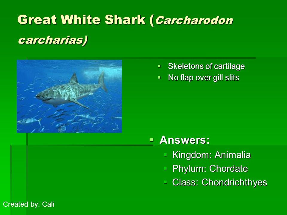 Great White Shark ( Carcharodon carcharias)  Skeletons of cartilage  No flap over gill slits  Answers:  Kingdom: Animalia  Phylum: Chordate  Class: Chondrichthyes Created by: Cali
