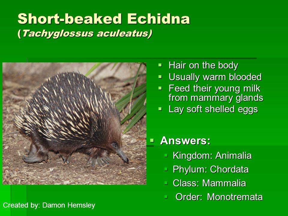 Short-beaked Echidna (Tachyglossus aculeatus)  Hair on the body  Usually warm blooded  Feed their young milk from mammary glands  Lay soft shelled eggs  Answers:  Kingdom: Animalia  Phylum: Chordata  Class: Mammalia  Order: Monotremata Created by: Damon Hemsley