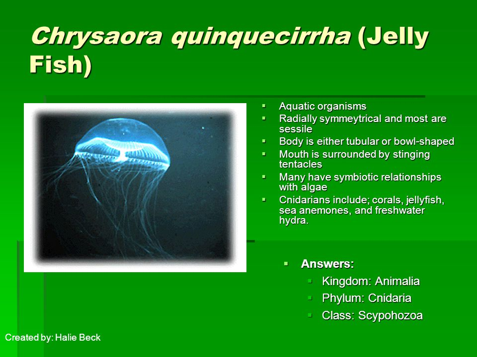 Chrysaora quinquecirrha (Jelly Fish)  Aquatic organisms  Radially symmeytrical and most are sessile  Body is either tubular or bowl-shaped  Mouth is surrounded by stinging tentacles  Many have symbiotic relationships with algae  Cnidarians include; corals, jellyfish, sea anemones, and freshwater hydra.