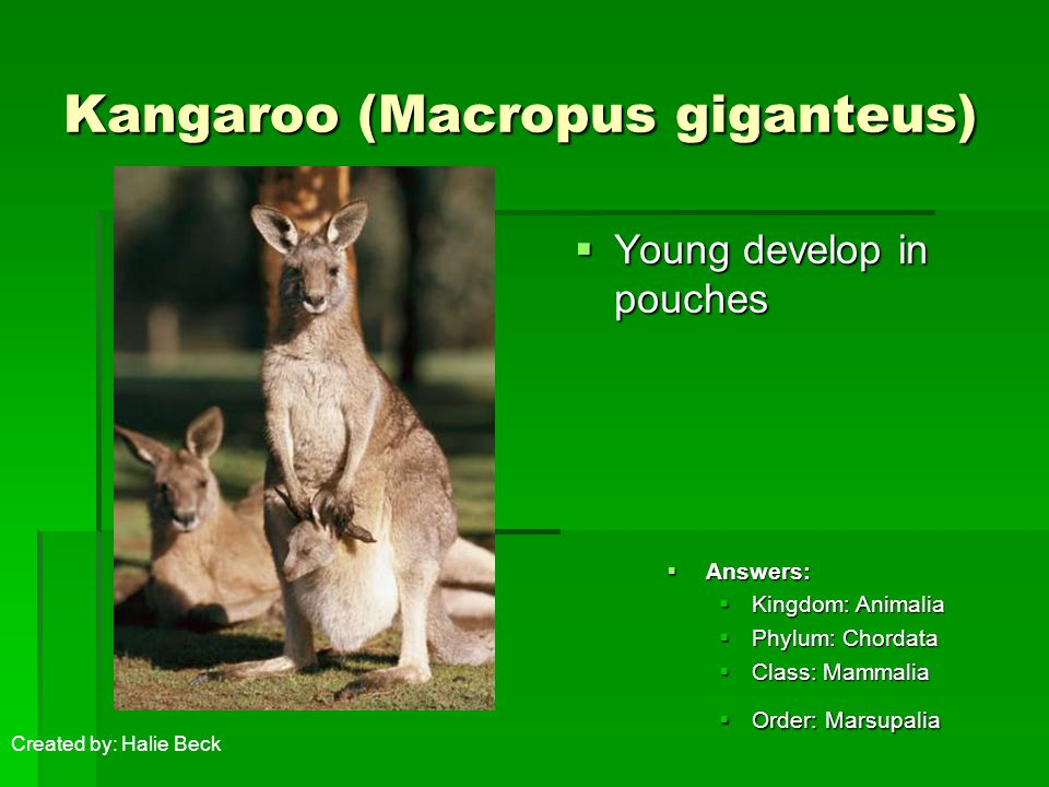 Kangaroo (Macropus giganteus)  Young develop in pouches  Answers:  Kingdom: Animalia  Phylum: Chordata  Class: Mammalia  Order: Marsupalia Created by: Halie Beck