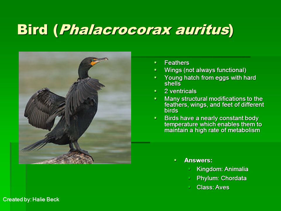 Bird (Phalacrocorax auritus)  Feathers  Wings (not always functional)  Young hatch from eggs with hard shells  2 ventricals  Many structural modifications to the feathers, wings, and feet of different birds  Birds have a nearly constant body temperature which enables them to maintain a high rate of metabolism  Answers:  Kingdom: Animalia  Phylum: Chordata  Class: Aves Created by: Halie Beck