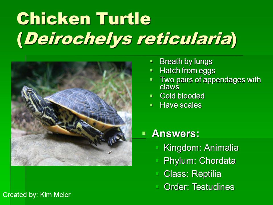 Chicken Turtle (Deirochelys reticularia)  Breath by lungs  Hatch from eggs  Two pairs of appendages with claws  Cold blooded  Have scales  Answers:  Kingdom: Animalia  Phylum: Chordata  Class: Reptilia  Order: Testudines Created by: Kim Meier