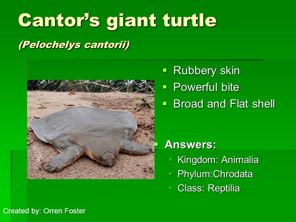 Cantor's giant turtle (Pelochelys cantorii)  Rubbery skin  Powerful bite  Broad and Flat shell  Answers:  Kingdom: Animalia  Phylum:Chrodata  Class: Reptilia Created by: Orren Foster