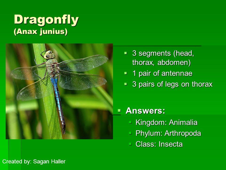 Dragonfly (Anax junius)  3 segments (head, thorax, abdomen)  1 pair of antennae  3 pairs of legs on thorax  Answers:  Kingdom: Animalia  Phylum: Arthropoda  Class: Insecta Created by: Sagan Haller