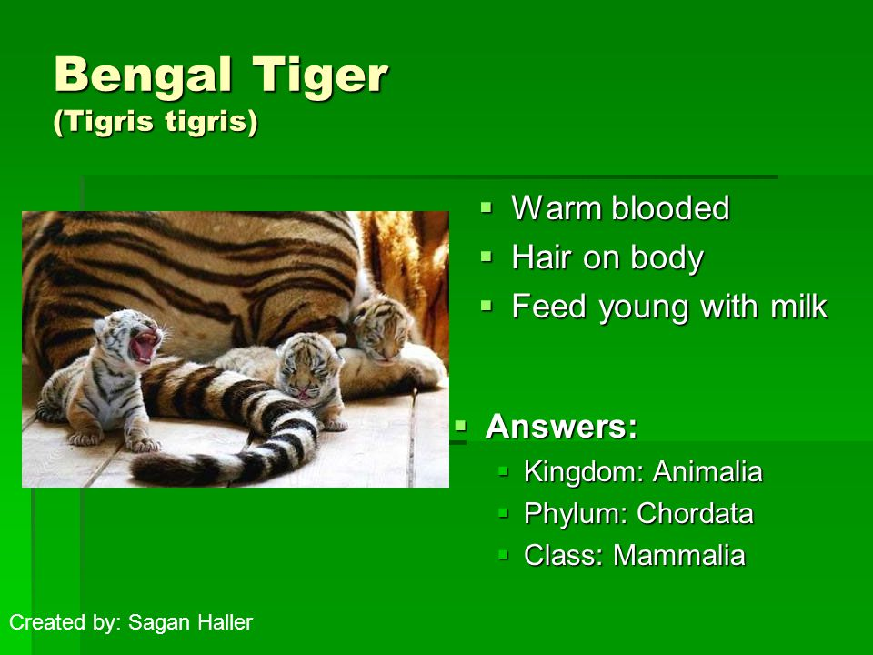 Bengal Tiger (Tigris tigris)  Warm blooded  Hair on body  Feed young with milk  Answers:  Kingdom: Animalia  Phylum: Chordata  Class: Mammalia Created by: Sagan Haller