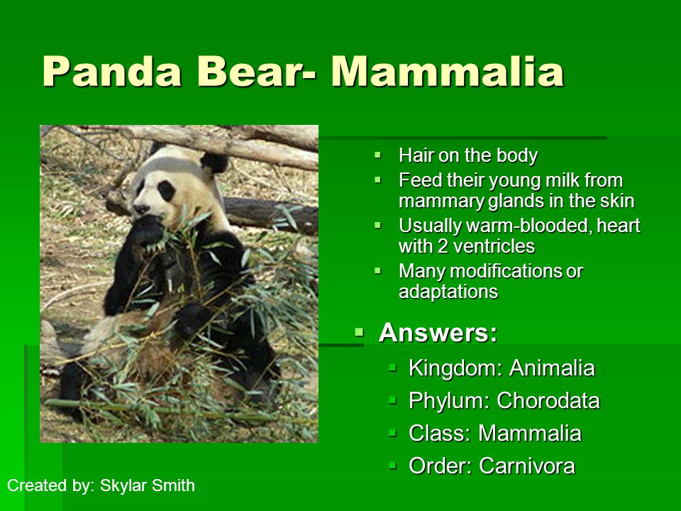 Panda Bear- Mammalia  Hair on the body  Feed their young milk from mammary glands in the skin  Usually warm-blooded, heart with 2 ventricles  Many