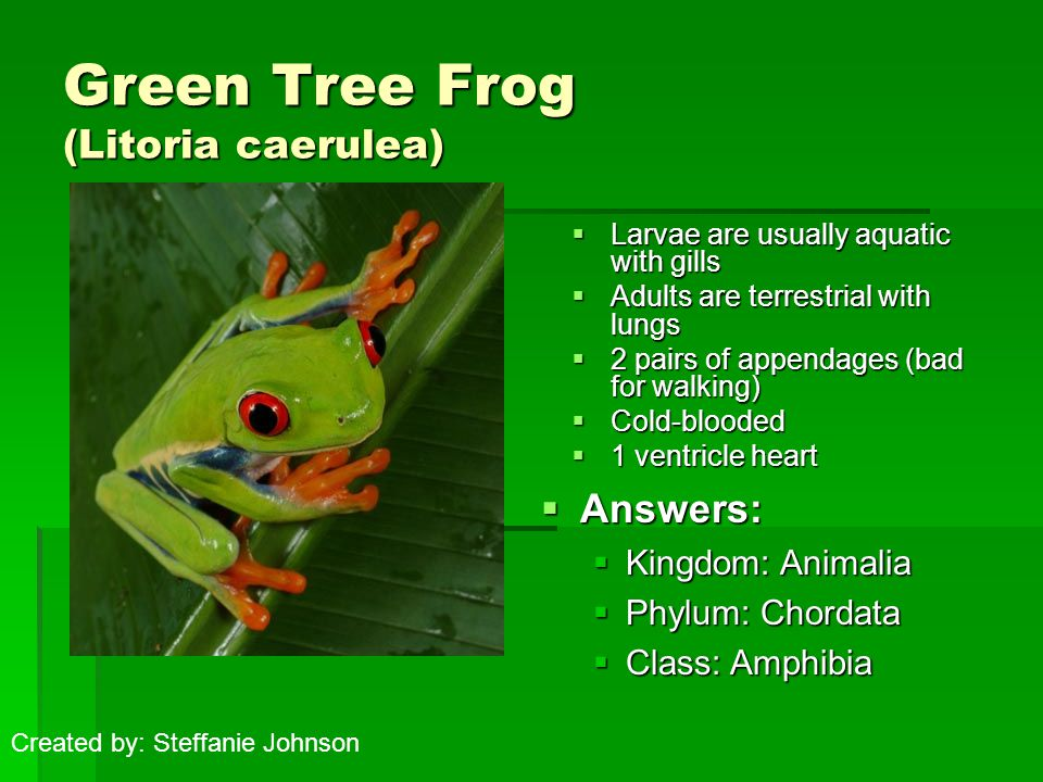 Green Tree Frog (Litoria caerulea)  Add image(s) here  Larvae are usually aquatic with gills  Adults are terrestrial with lungs  2 pairs of appendages (bad for walking)  Cold-blooded  1 ventricle heart  Answers:  Kingdom: Animalia  Phylum: Chordata  Class: Amphibia Created by: Steffanie Johnson