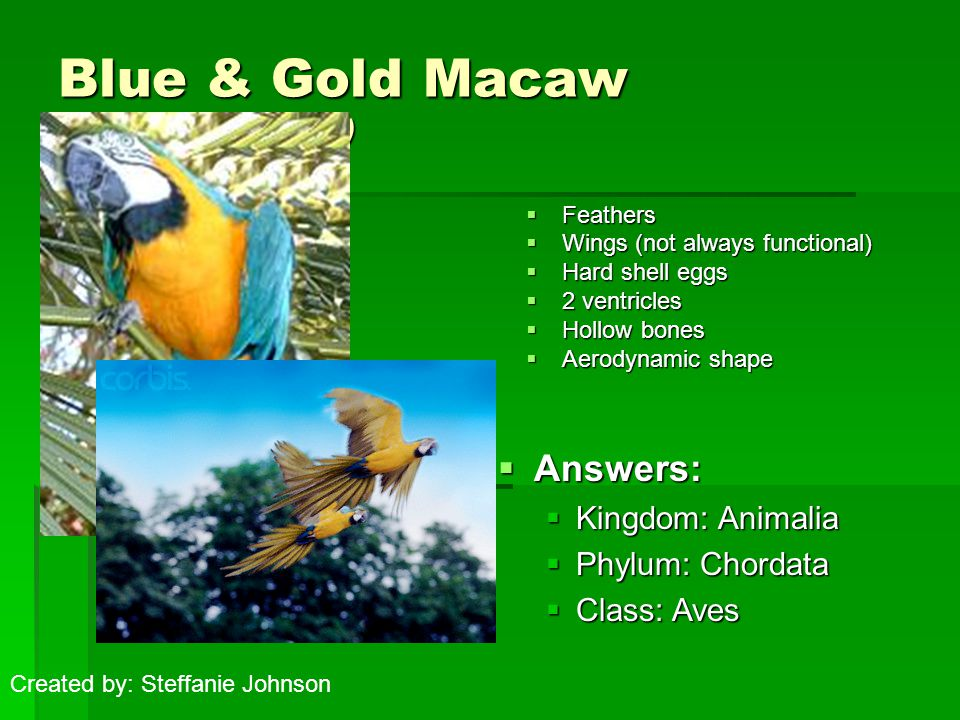 Blue & Gold Macaw (Ara ararauna)  Feathers  Wings (not always functional)  Hard shell eggs  2 ventricles  Hollow bones  Aerodynamic shape  Answers:  Kingdom: Animalia  Phylum: Chordata  Class: Aves Created by: Steffanie Johnson