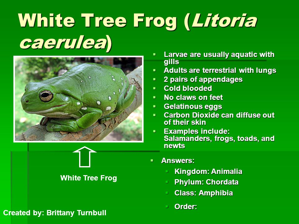 White Tree Frog (Litoria caerulea)  Larvae are usually aquatic with gills  Adults are terrestrial with lungs  2 pairs of appendages  Cold blooded  No claws on feet  Gelatinous eggs  Carbon Dioxide can diffuse out of their skin  Examples include: Salamanders, frogs, toads, and newts  Answers:  Kingdom: Animalia  Phylum: Chordata  Class: Amphibia  Order: Created by: Brittany Turnbull White Tree Frog