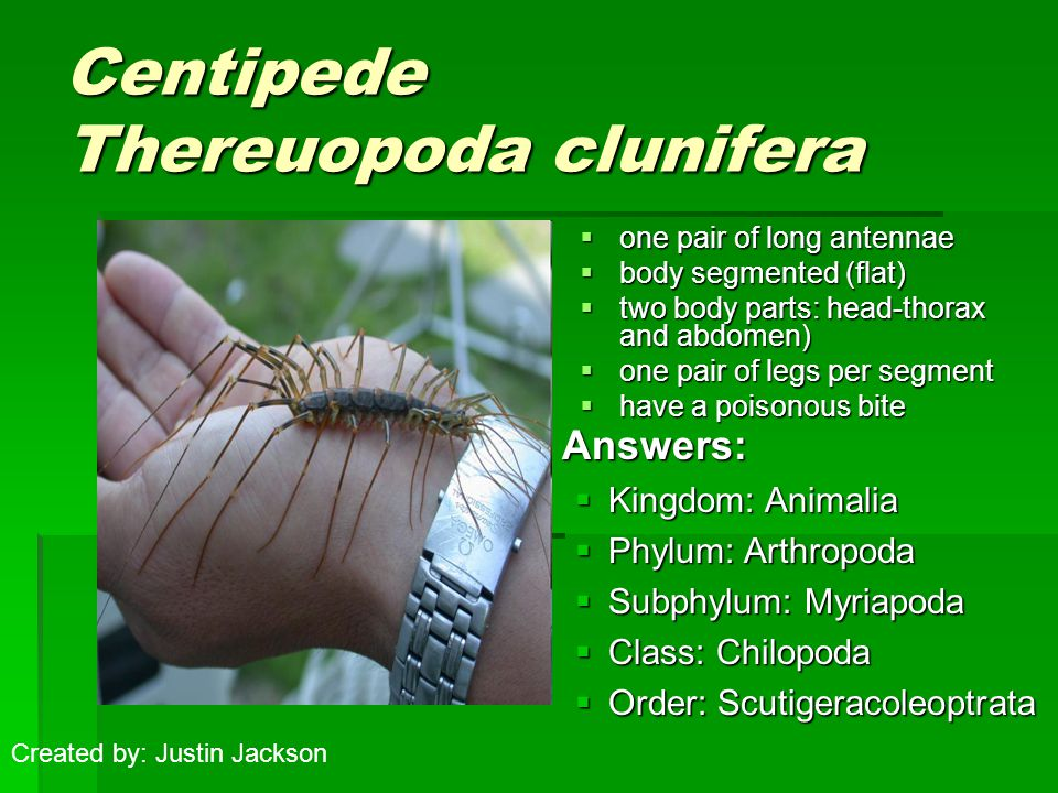 Centipede Thereuopoda clunifera  one pair of long antennae  body segmented (flat)  two body parts: head-thorax and abdomen)  one pair of legs per