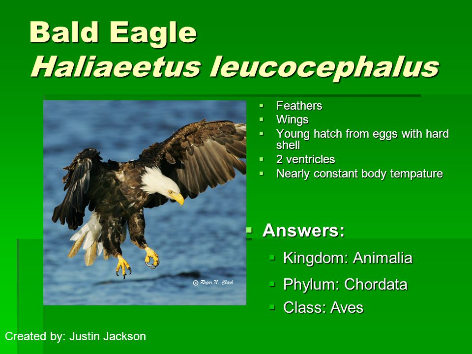 Bald Eagle Haliaeetus leucocephalus  Feathers  Wings  Young hatch from eggs with hard shell  2 ventricles  Nearly constant body tempature  Answe