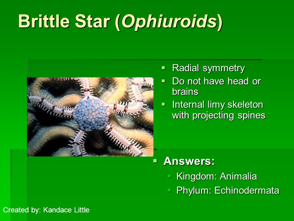 Brittle Star (Ophiuroids)  Radial symmetry  Do not have head or brains  Internal limy skeleton with projecting spines  Answers:  Kingdom: Animalia  Phylum: Echinodermata Created by: Kandace Little