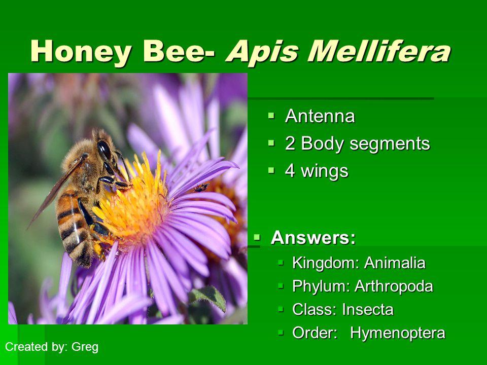 Honey Bee- Apis Mellifera  Add image(s) here  Antenna  2 Body segments  4 wings  Answers:  Kingdom: Animalia  Phylum: Arthropoda  Class: Insecta  Order: Hymenoptera Created by: Greg