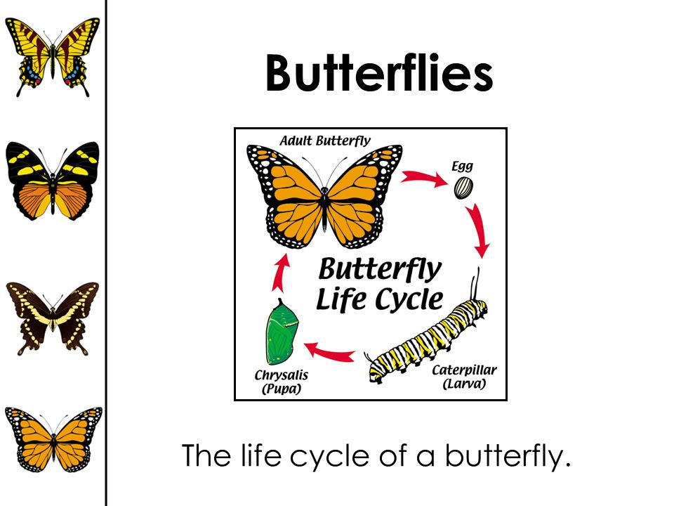 Butterflies The life cycle of a butterfly.