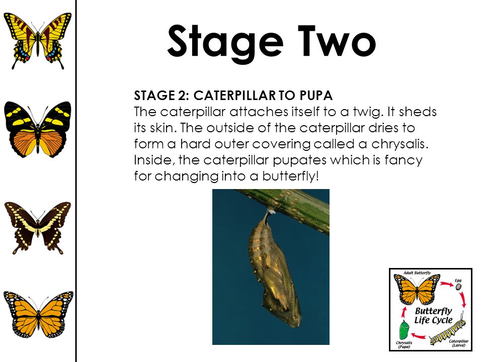 Stage Two STAGE 2: CATERPILLAR TO PUPA The caterpillar attaches itself to a twig. It sheds its skin. The outside of the caterpillar dries to form a ha