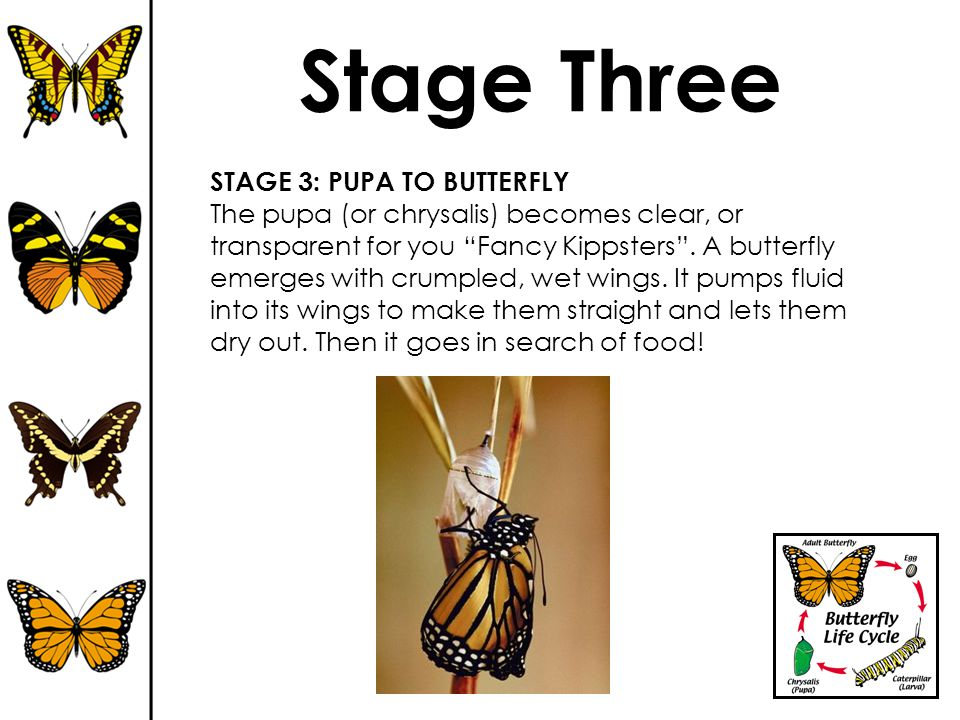 """Stage Three STAGE 3: PUPA TO BUTTERFLY The pupa (or chrysalis) becomes clear, or transparent for you """"Fancy Kippsters"""". A butterfly emerges with crump"""